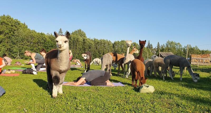 Alpakajooga Wile farmis