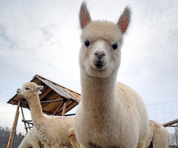 Wile Alpaca Farm – Soojad ja pehmed alpakavillased tooted.